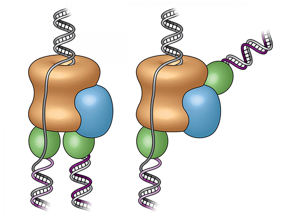 Previously (left), the replisome's two polymerases (green) were assumed to be below the helicase (tan), the enzyme that splits the DNA strands. The new images reveal one polymerase is located at the front of the helicase, causing one strand to loop backward as it is copied (right). [Brookhaven National Laboratory]