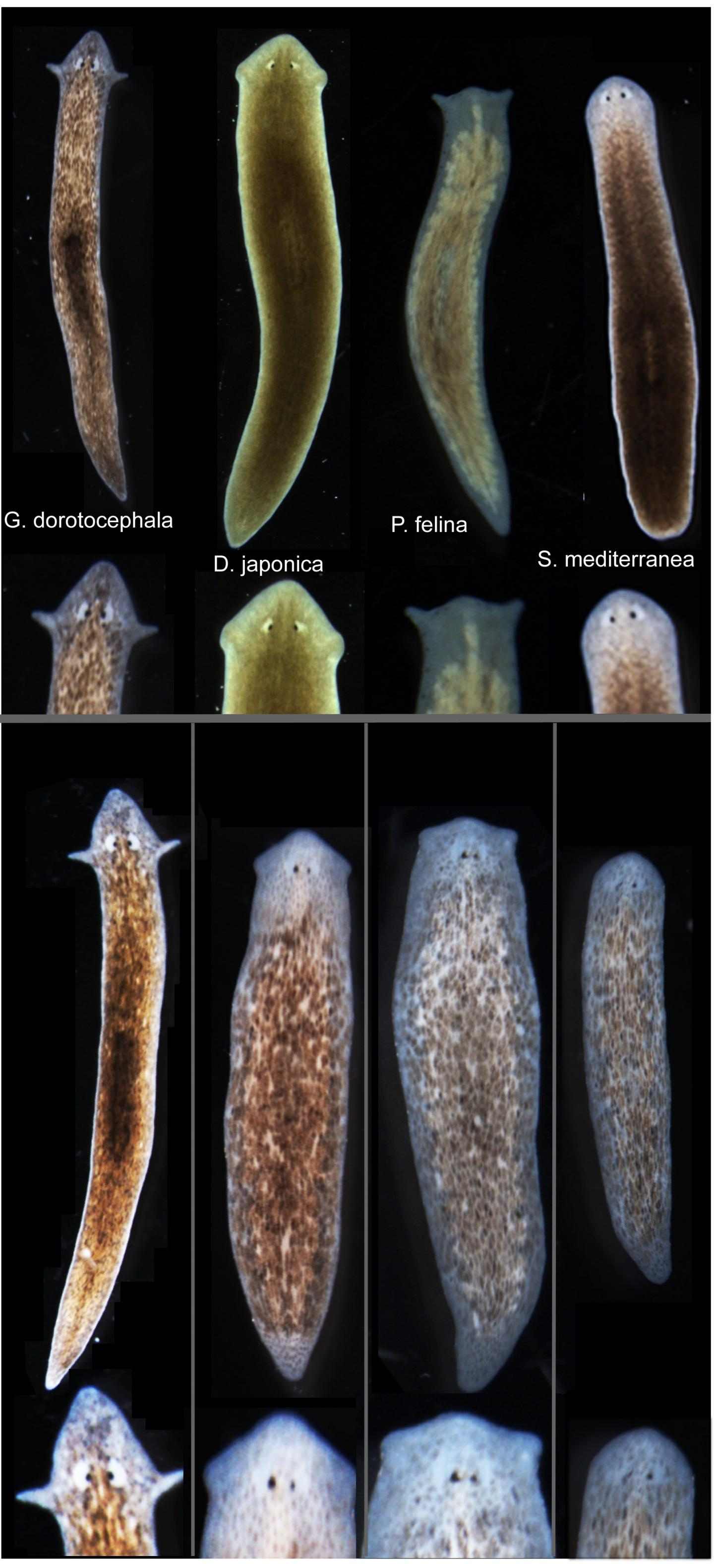 """Biologists induced one species of flatworm—<I>G. dorotocephal</I>, top left—to grow heads and brains characteristic of other species of flatworm, top row, without altering genomic sequence. Examples of the outcomes can be seen in the bottom row of the image. [Center for Regenerative and Developmental Biology, School of Arts and Sciences, Tufts University.]"""" width=""""60%"""" height=""""60%"""" /><br /> <span class="""