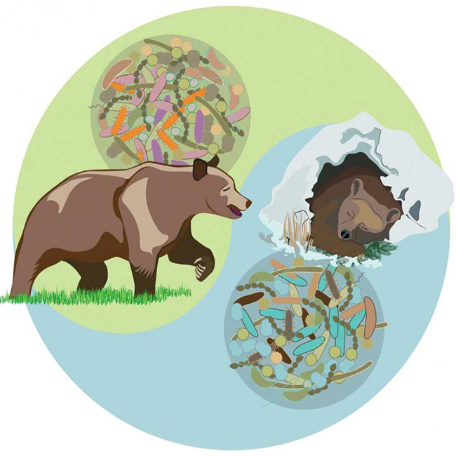 This visual abstract depicts how the microbiota and serum metabolites in brown bears differ seasonally between hibernation and active phases. Colonization of mice with a bear microbiota promoted increased adiposity. These findings suggest that seasonal microbiota variation may contribute to metabolism of the hibernating brown bear. [Sommer et al./Cell Reports 2016]