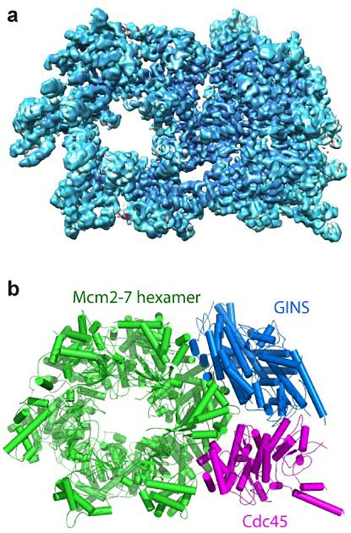 These are two images showing the structure of the helicase protein complex from above. (a) A surface-rendered three-dimensional electron density map as obtained by cryo-EM. (b) A computer-generated 'ribbon diagram' of the atomic model built based on the density map. The helicase has three major components: the Mcm2-7 hexamer ring in green, which encircles the DNA strand; the Cdc45 protein in magenta; and the GINS 4-protein complex in marine blue. Cdc45 and GINS recruit and tether other replisome components to the helicase, including the DNA polymerases that copy each strand of the DNA. [Brookhaven National Laboratory]