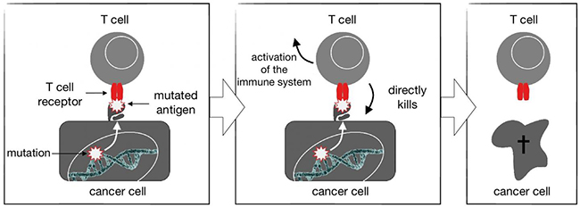 The T cell receptor on T cells might recognize antigens derived from mutated proteins in cancer cells. Once a foreign