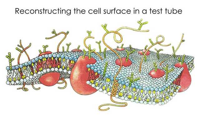 Illustration of a typical cell surface. [Through WikiCommons, William Crochot GIF copyright 2016 Köster et al., PNAS]