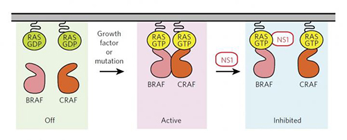 Monobody NS1 binds to H-RAS or K-RAS protein and blocks RAS function by disrupting the protein's ability to form active molecular pairs. [John P. O'Bryan, et al./Nature Chemical Biology.]