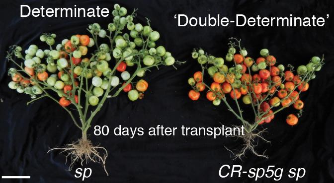 Improving on a much-loved variety of cherry tomato (left), the CSHL team used gene editing to get ripe fruit 2 weeks earlier (right). These images were taken at the same point after planting. [Lippman lab/Cold Spring Harbor Laboratory]