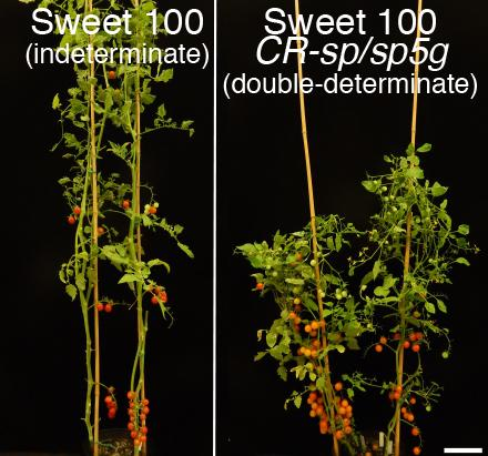 Using gene editing to improve a prized cherry tomato variety (left) yields a bushier plant (right) that can be planted more densely, boosting yield while speeding up ripening by about 2 weeks. These plants were photographed an equal number of days after planting. [Lippman lab/Cold Spring Harbor Laboratory]
