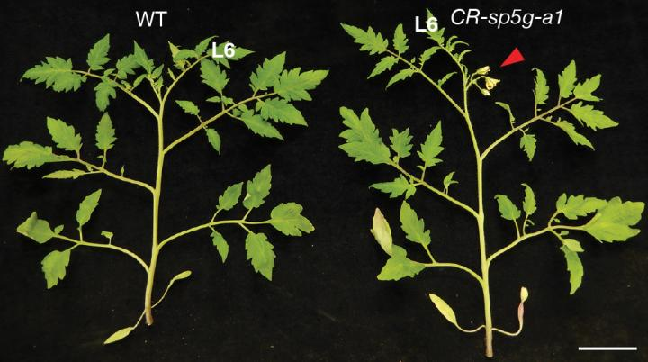 Inhibiting expression of the SP5G gene with CRISPR causes rapid flowering, regardless of day length. The modified plant is on the right, shown the same number of days after planting as the