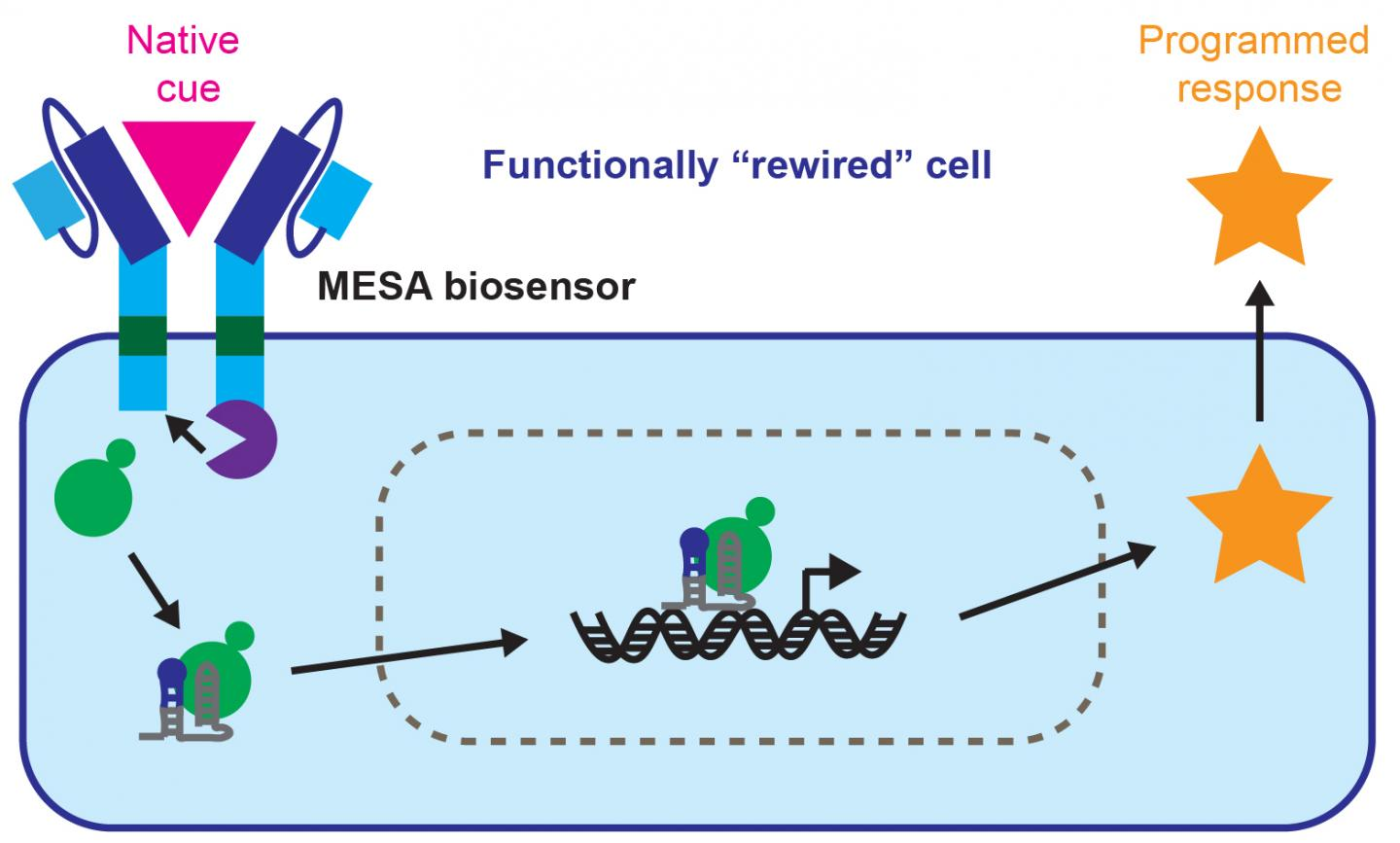 In a new study, human immune cells were engineered to generate a different output than they ordinarily would in response to an environmental input. Specifically, molecular components were installed that allowed the cells to recognize a tumor-derived protein and produce an immune-stimulating factor. This sort of rewiring of cellular input-output shows promise not only in cancer immunotherapy, but in other translational applications, as well as in basic biological research. MESA: modular extracellular sensor architecture. [Northwestern University]