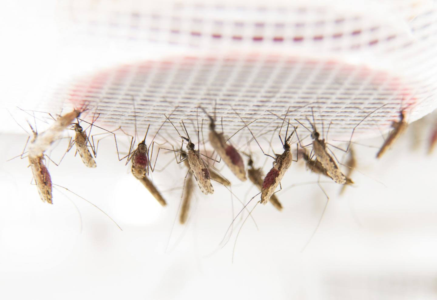 Researchers discover why malaria mosquitoes prefer to feed—and feed more—on blood from people infected with malaria. [Anna-Karin Landin/Stockholm University]