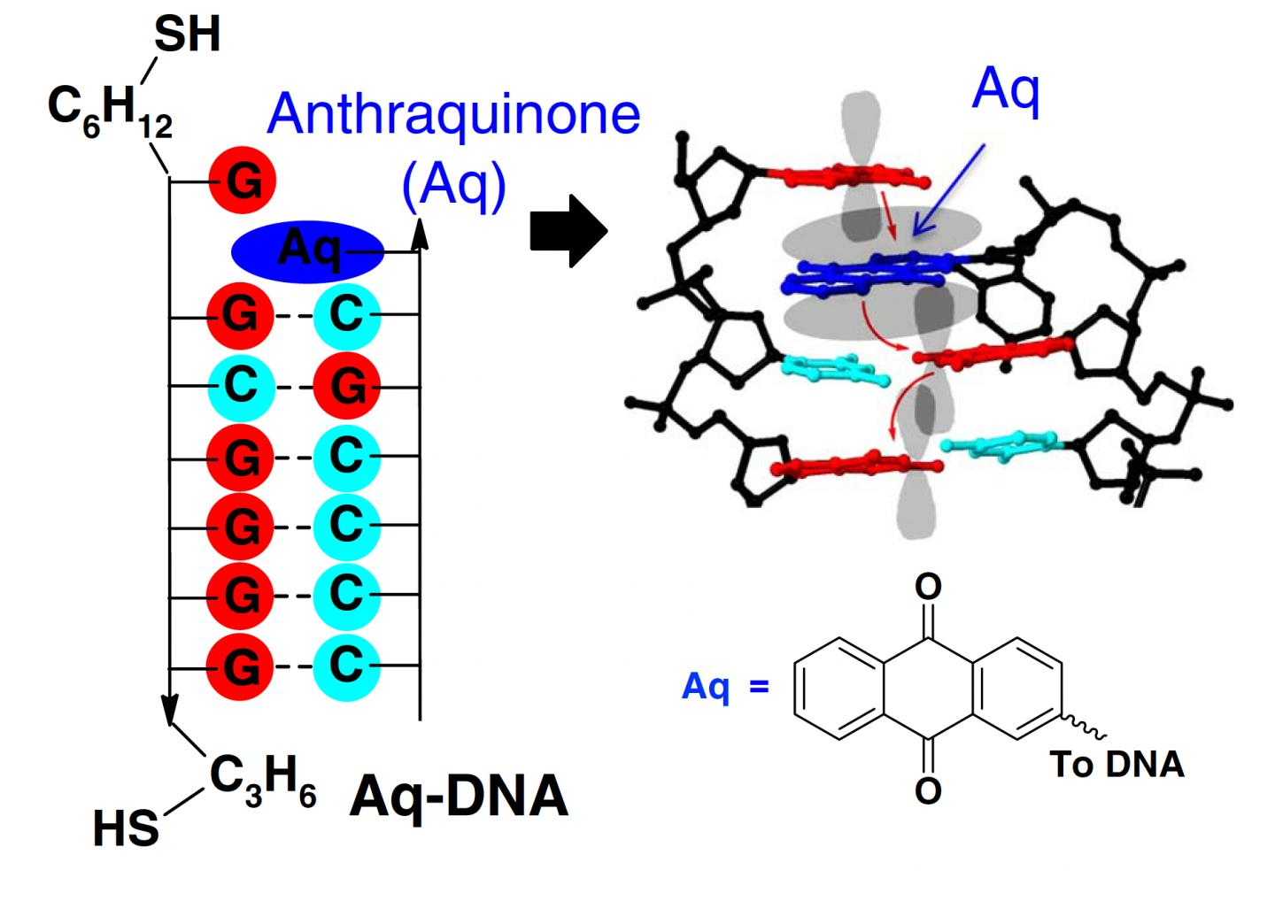 The modified Aq-DNA helix could now help it perform the switch, slipping comfortably in between the rungs that make up the ladder of the DNA helix, and bestowing it with a new found ability to reversibly gain or lose electrons. [Biodesign Institute, Arizona State University]