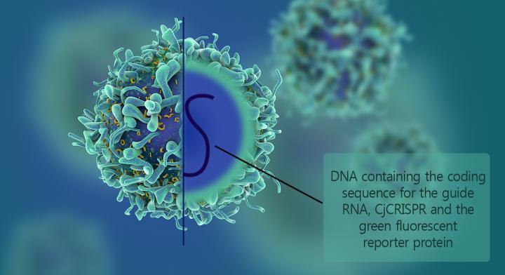 """This is an adeno-associated virus containing the DNA coding for the RNA guide, the Cas9 protein derived from <i>Campylobacter jejuni</i>, and the green fluorescent reporter protein (GFP). This is possible because of the small size of Cas9. [IBS]"""" width=""""60%"""" height=""""60%"""" /><br /> <span class="""