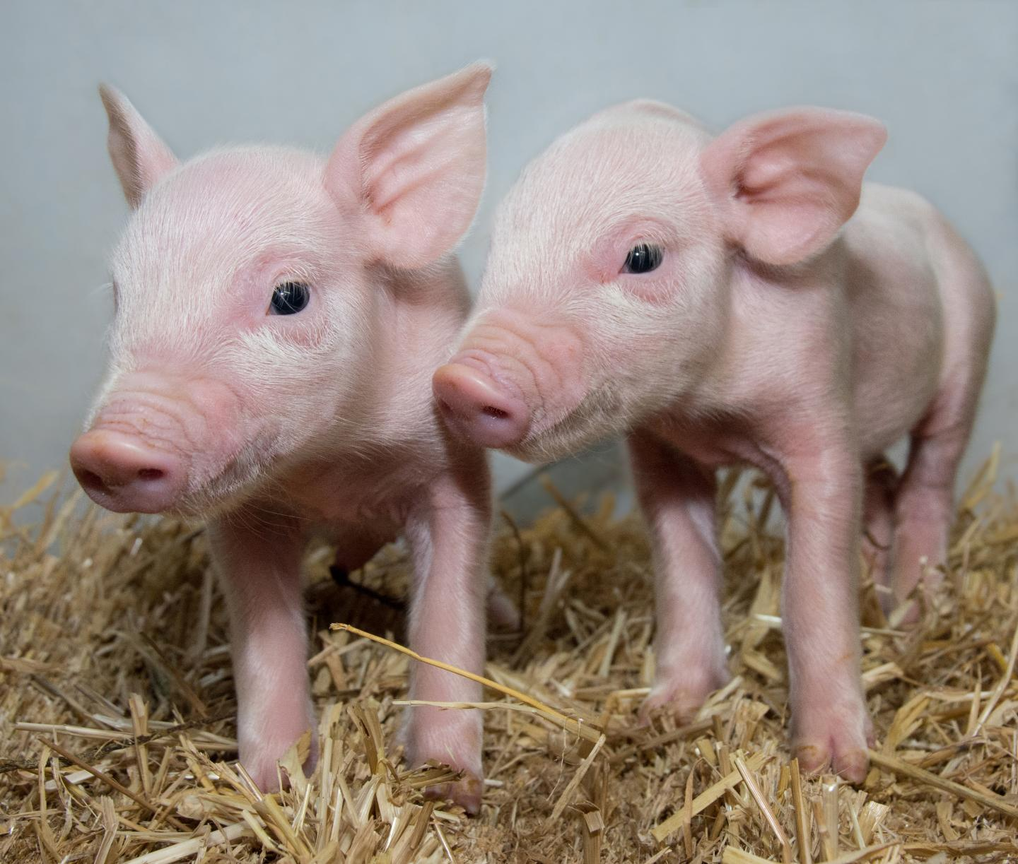 Scientists have produced pigs that may be protected from an infection that costs the swine industry billions each year. The University of Edinburgh team have used advanced genetic techniques to produce pigs that are potentially resistant to porcine reproductive and respiratory syndrome (PRRS). [Laura Dow/The Roslin Institute]