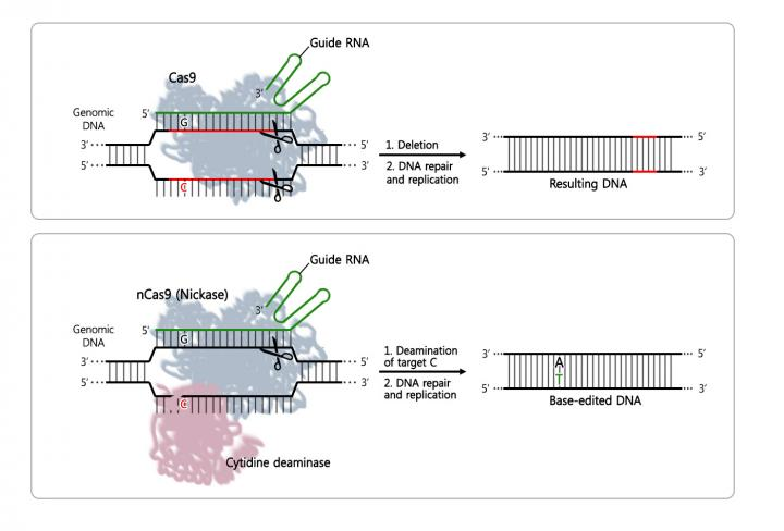 Comparison of the most used CRISPR system (top) vs. the newly developed editing tool (bottom). In some cases, the difference of just one nucleotide can bring serious disease consequences. Scientists hope to cure such diseases by substituting the incorrect nucleotide with the correct one. [IBS]