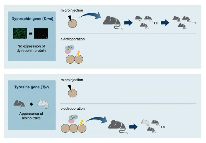 Example of how the IBS scientists created the single-nucleotide substituted mice using the new CRISPR system. [IBS]