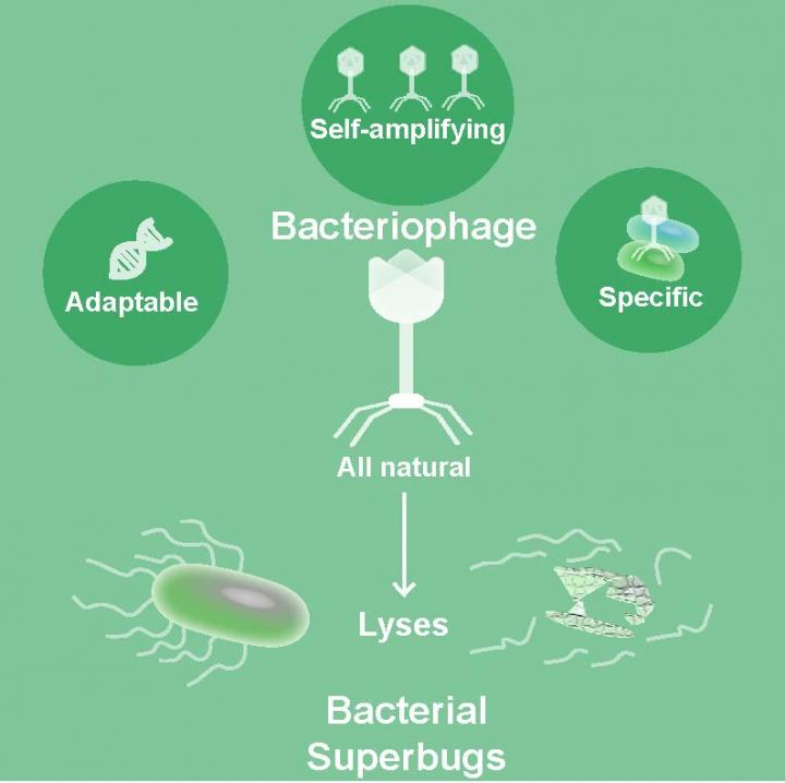 Bacteriophages can potentially be used to combat antibiotic-resistant bacterial infections. [Sabrina Green/Baylor College of Medicine]