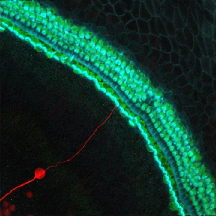 A stem cell–derived neuron grafted onto a mouse cochlea in the inner ear that lacked neurons. The new neuron is marked red, hair cells that convert sounds into neural signals are green, and hair bundles are blue. [Kelvin Y. Kwan/Rutgers University-New Brunswick]