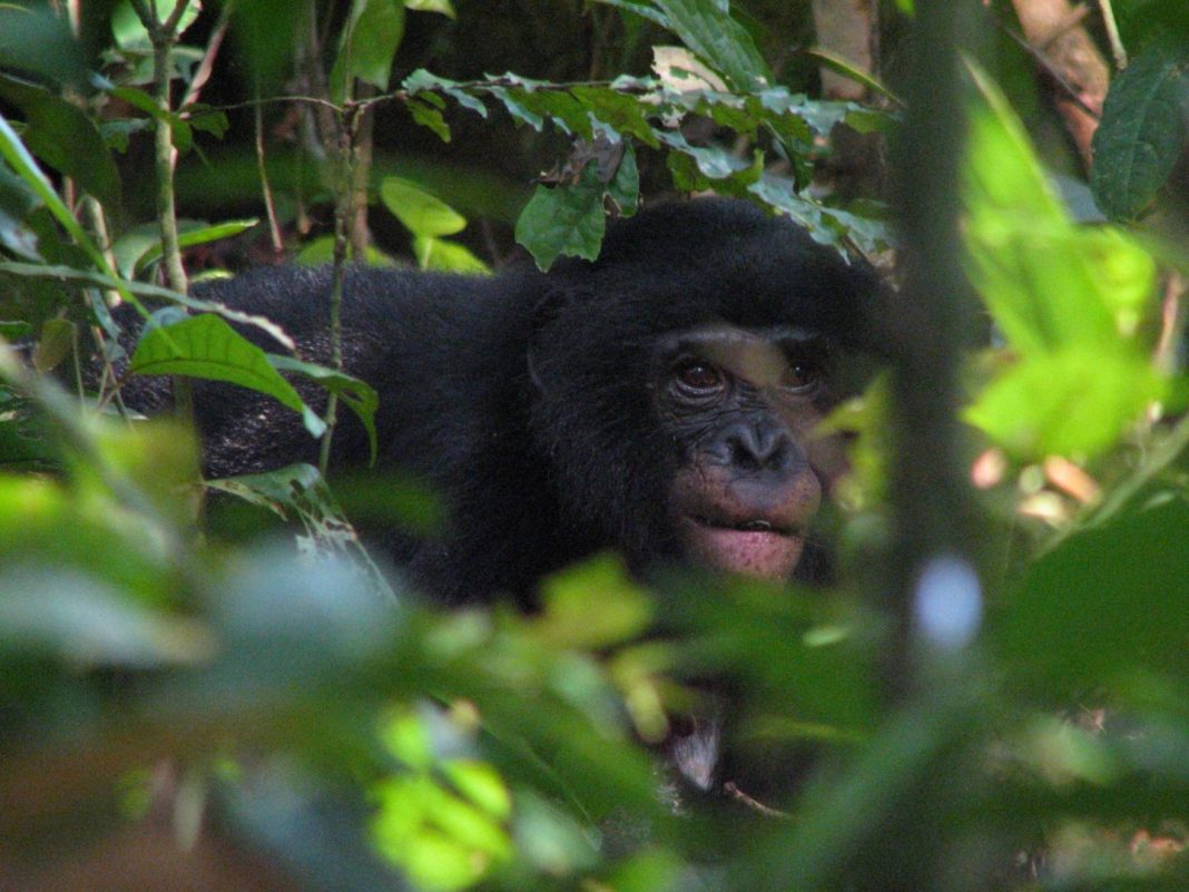 A female bonobo of the Hali-Hali community in the Kokolopori Bonobo Reserve (Democratic Republic of the Congo) is feeding on seeds of an African rosewood tree. The seed is visible between her lips. The bonobo plant diet was assessed as part of this study. [Alexander Georgiev]