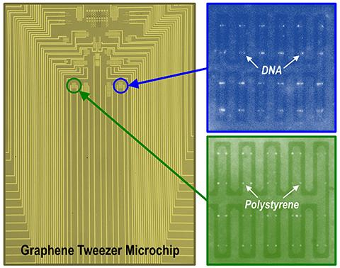 The University of Minnesota team produced a microchip containing a large array of graphene electronic tweezers. Fluorescence images show DNA molecules and polystyrene nanoparticles trapped on the chip. [Avijit Barik et al./University of Minnesota]