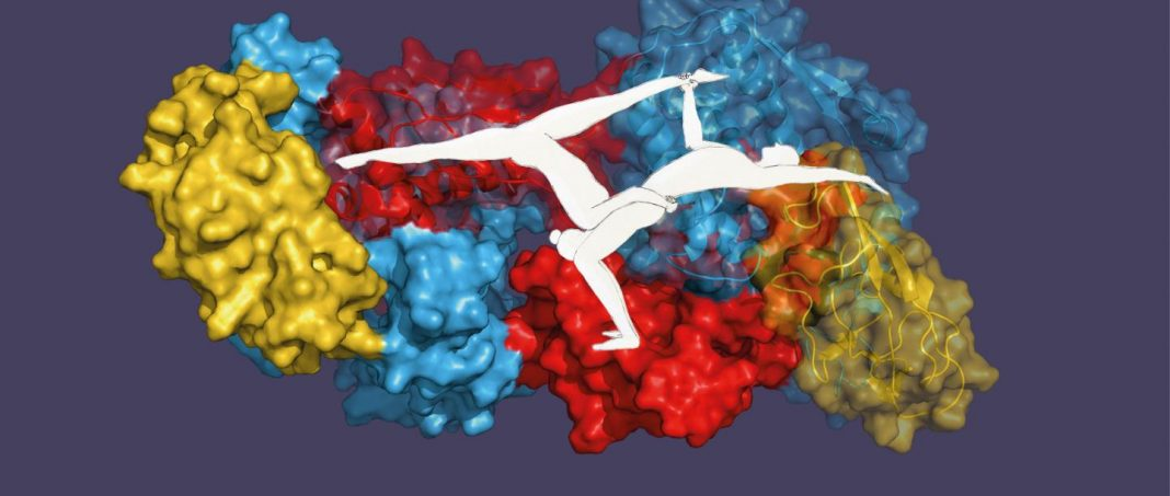 Like an acrobatic duo—single proteins lend each other greater stability. [Biozentrum University of Basel]