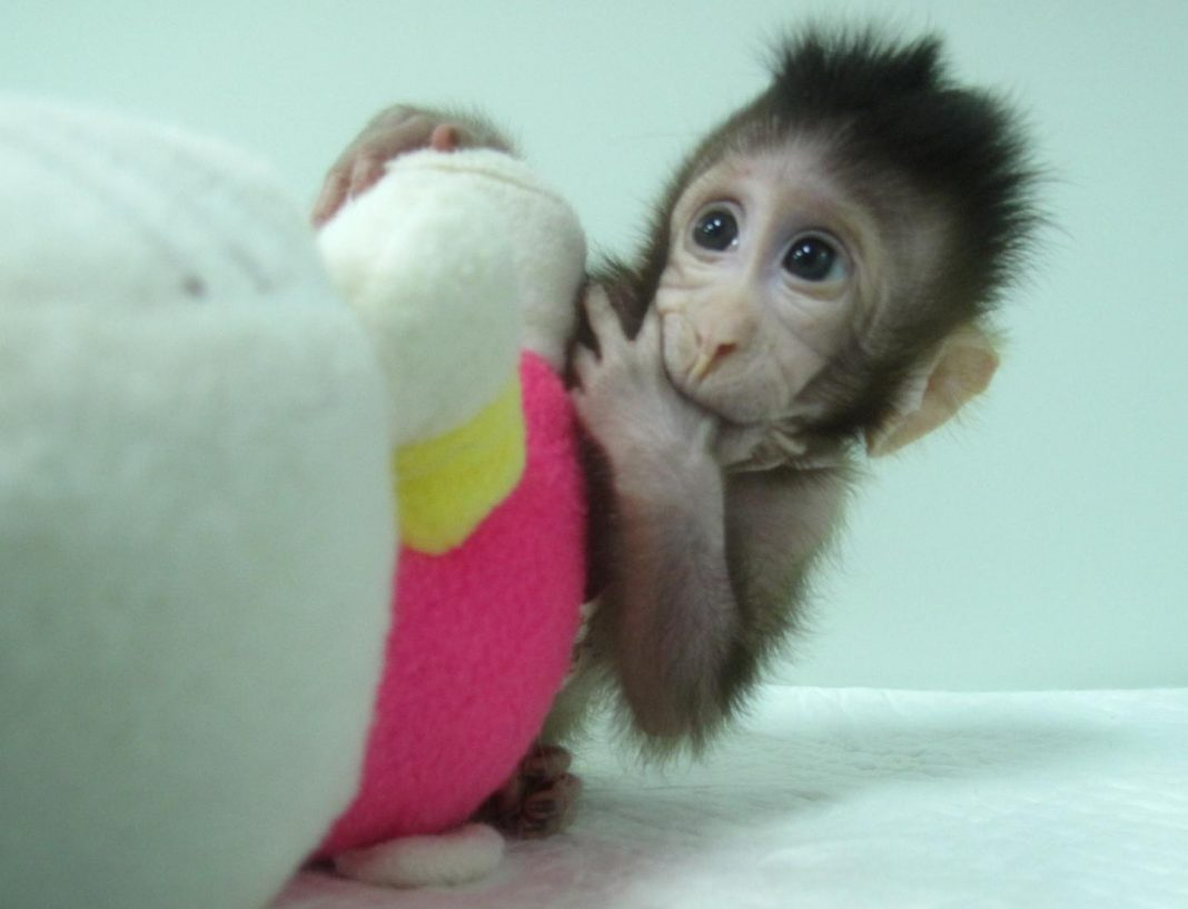 Eight-week-old Zhong Zhong (pictured) and sibling Hua Hua are the first primate clones to be made through somatic cell nuclear transfer (SCNT) by researchers at the Chinese Academy of Sciences Institute of Neuroscience. The technique led to the creation of Dolly the Sheep two decades ago. [Qiang Sun and Mu-ming Poo / Chinese Academy of Sciences]