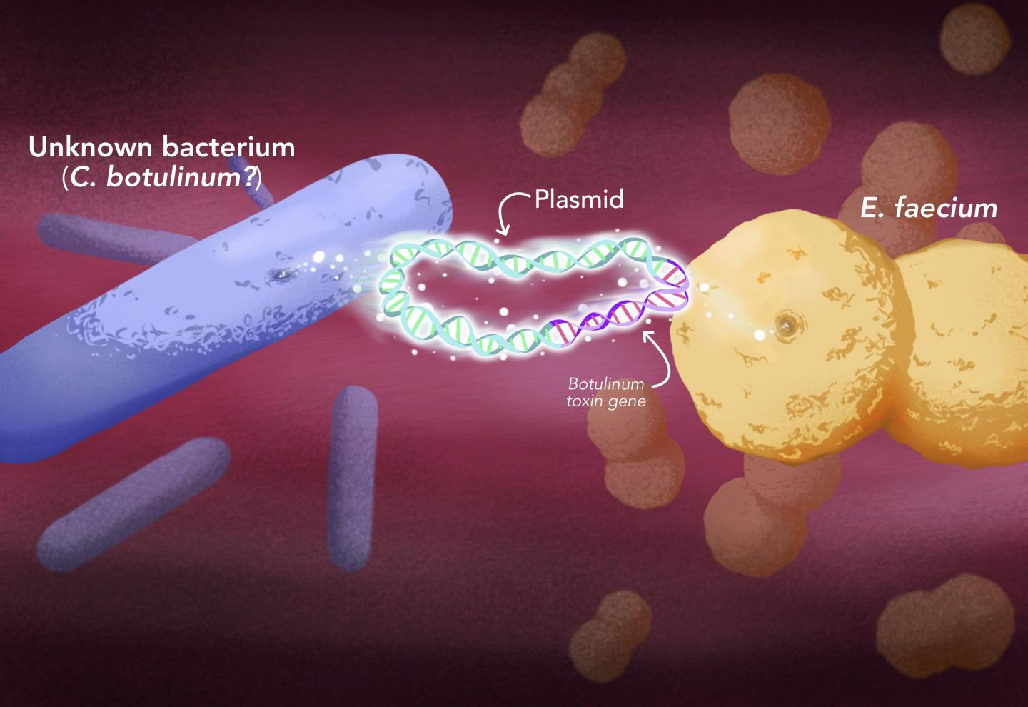 """Botulinum toxin was able to jump into a new type of bacteria, <i>Enterococcus</i>, through plasmids, mobile structures that contain DNA independently of the chromosomes and can be swapped from one bacterium to another. [Elena Hartley]"""" width=""""60%"""" height=""""60%"""" /><br /> <span class="""