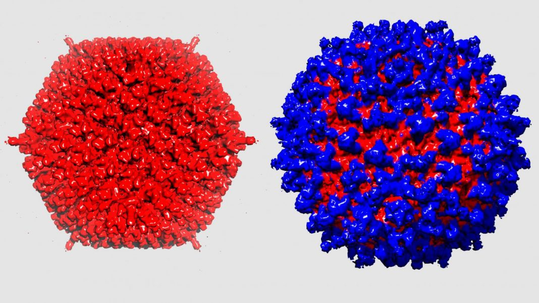 The adenovirus (left) camouflages itself from the immune system thanks to its protective coat (right). [University of Zurich]