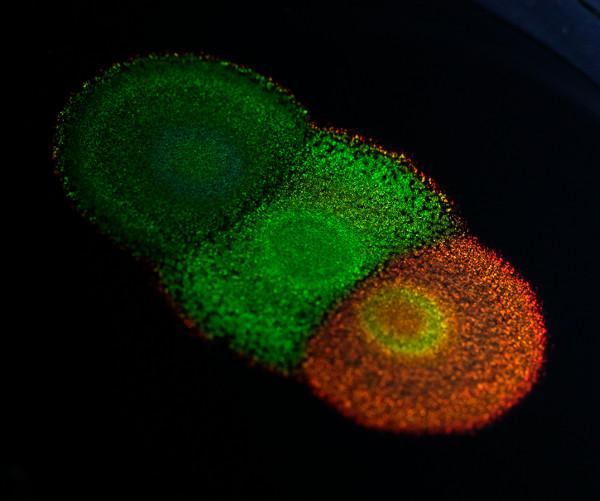 """The image shows a colony of the <i>Flavobacterium</i> IR1, 2 cm in diameter, growing on a nutrient agar plate. The cells in the colony are highly organized, thus forming a 2D photonic crystal that interferes with light. This results in structurally colored, bright, and angle-specific hues with a concentric ring pattern, indicating subtle changes in organization. The older cells of IR1 in the colony center are more disorganized and therefore lose color. IR1 can be genetically modified from this wild-type strain to create new, living photonic structures. [University of Cambridge]"""" width=""""60%"""" height=""""60%"""" /><br /> <span class="""