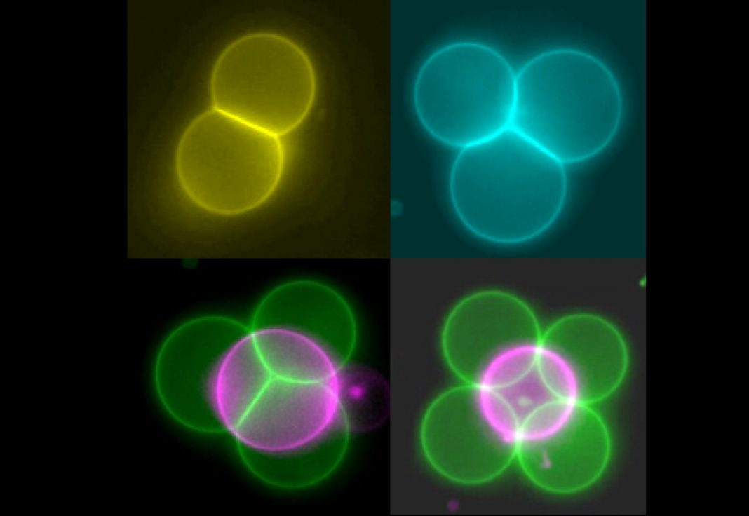 Artificial cells (false-color image) in a range of structures. [Imperial College London]