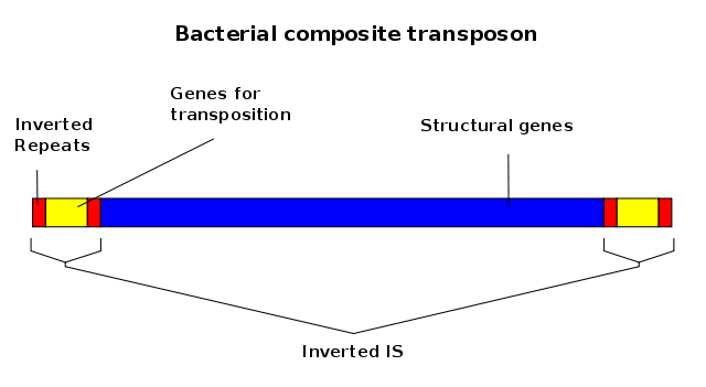 Schematic of transposable elements from bacteria: Areas on the end of the gene can change places, adding genomic diversity to microbes, or lead to genomic instability in more complex organisms like humans. [Jacek FH, via <a href=