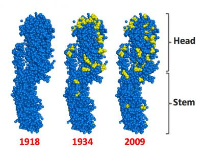 This image shows the HA protein from three flu strains. The blue and yellow dots depict the amino acids that make up the HA protein. [Credit: Yuan Lu/Stanford University]