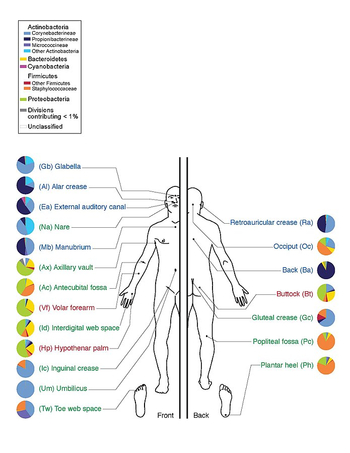 Depiction of prevalences of various classes of bacteria at selected sites on human skin. [WikiCommons]