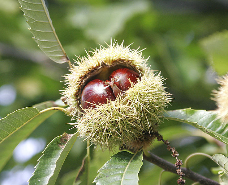 Inspired by traditional folk remedies, scientists create European chestnut extract with ability to shut down MRSA infections, [fir0002 | flagstaffotos.com.au, via Wikimedia Commons]