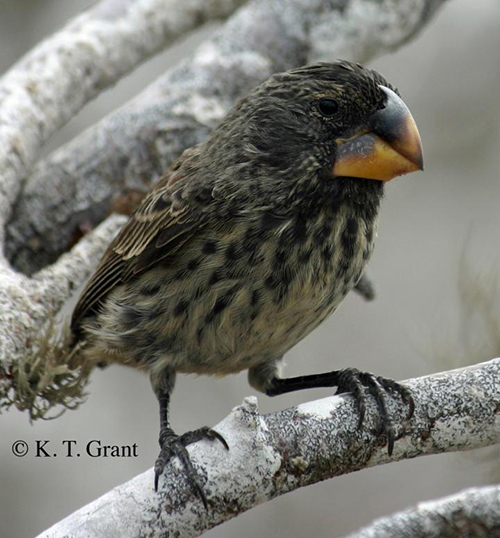 A close up of the large ground finch (<i>Geospiza magnirostris</i>) on Daphne Major Island.