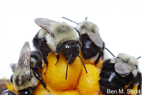 Due to a large collaborative effort, the genomes of two important pollinating bumblebees have been sequenced and compared with those of other bees, laying the foundations for the identification of biological factors essential for their conservation. [Ben M. Sadd]