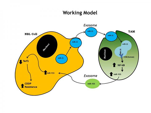 This is model representing the inter-cellular cross-talk within the microenvironment of neuroblastoma. [The Saban Research Institute of Children's Hospital Los Angeles]