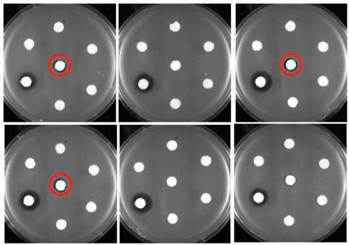 The white filter disks holding antibiotics sit on petri dishes housing erythromycin-resistant Bacillus subtilis. The filter disks circled in red hold new forms of erythromycin created by University at Buffalo researchers, and the dark halo around them indicates that the drug has seeped out of the disk to kill the surrounding bacteria. [Guojian Zhang]