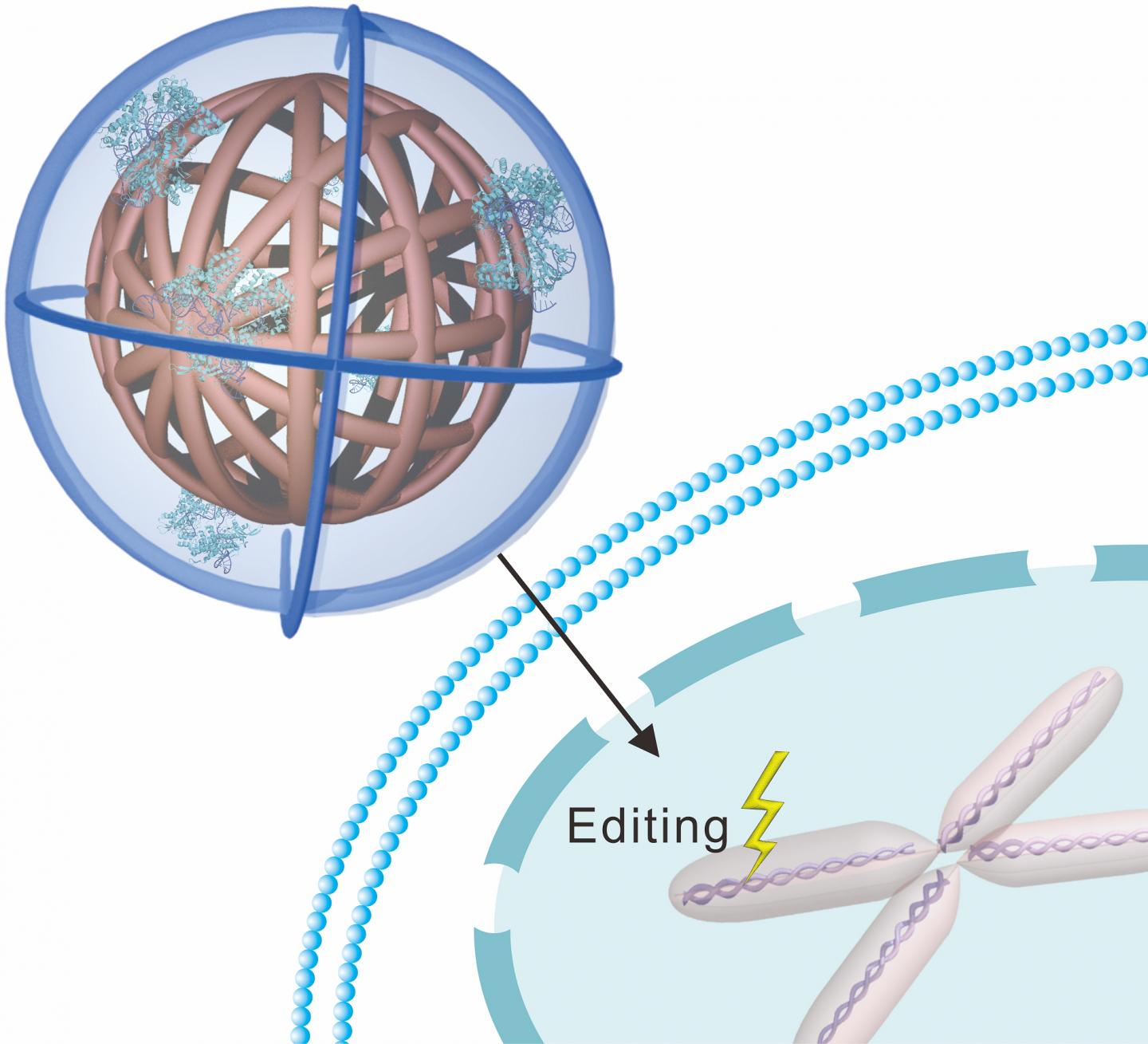 When the nanoclew comes into contact with a cell, the cell absorbs the nanoclew completely—swallowing it and wrapping it an endosome. Nanoclews are coated with a positively charged polymer that breaks down the endosome, setting the nanoclew free inside the cell, thus allowing CRISPR-Cas9 to make its way to the nucleus. [North Carolina State University]