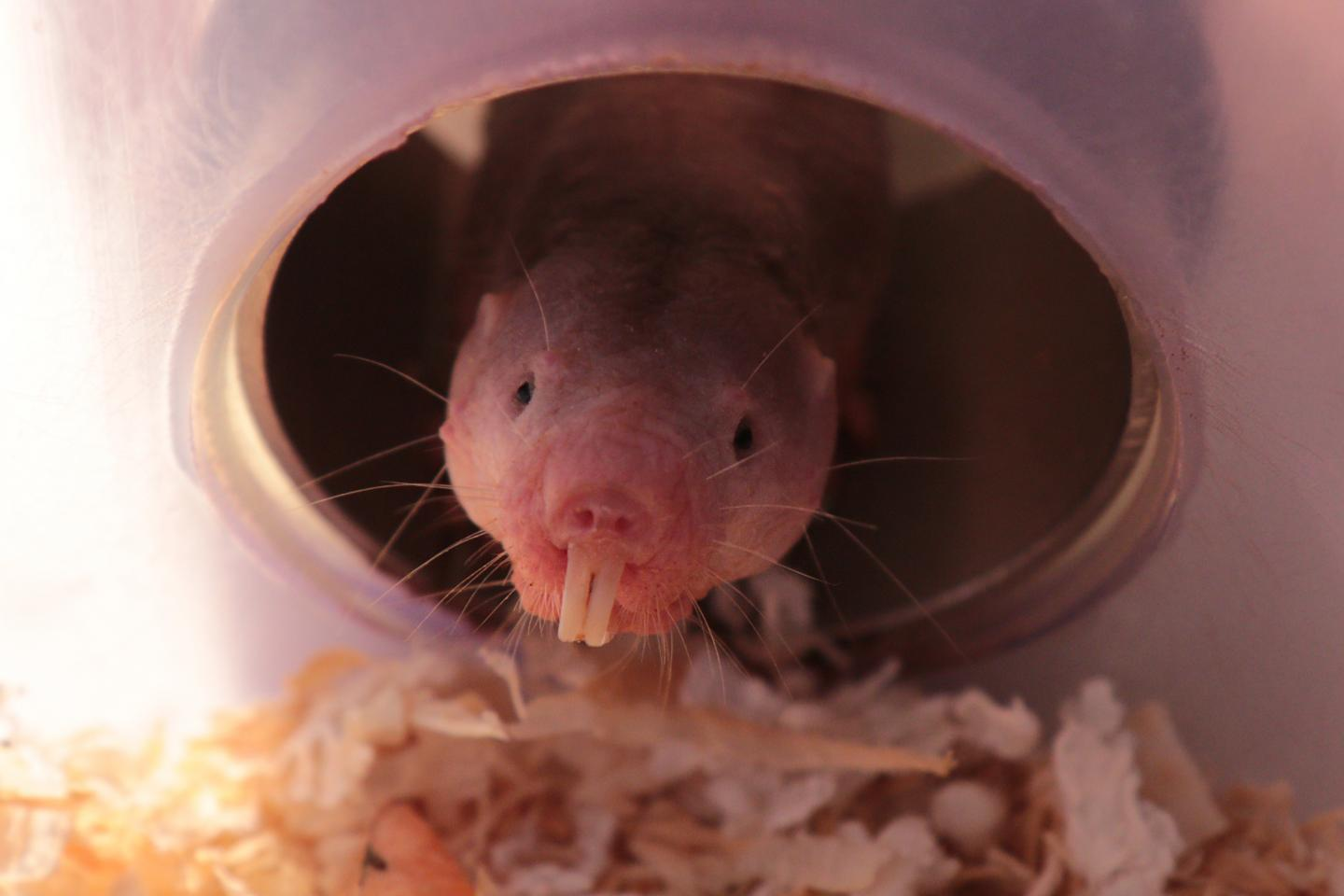 A naked mole-rat peeks out of the tube of an artificial burrow. For this burrow-dwelling animal, and all of his wrinkly kin, the metabolic rewiring of glycolysis can circumvent the normally lethal effects of oxygen deprivation, a mechanism that could be harnessed to minimize hypoxic damage in human disease. [Roland Gockel/MDC]