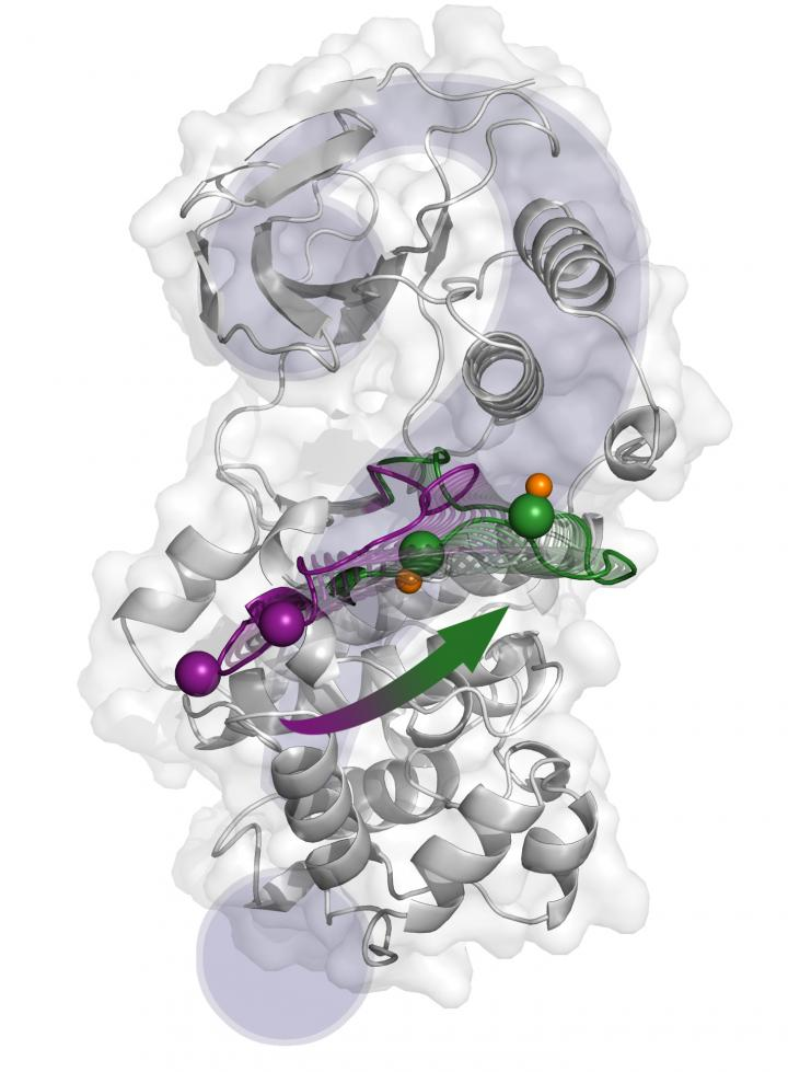The structural changes from the inactive state (purple) to the active one (green) proposed by X-ray crystallography. [Antonija Kuzmanic/IRB Barcelona]