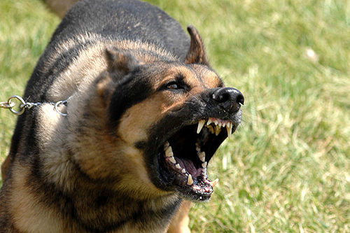 Genome-wide association mapping has uncovered dog fear and aggression gene variants that may have been involved in dog domestication. These variants could guide studies of dog behavioral problems and even yield insights into human anxiety disorders. [Josh Plueger/U.S. Air Force]