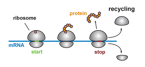 """A ribosome (gray) creates a protein by translating the genetic code within an mRNA molecule (blue). Once it reaches the stop signal, it releases the protein (orange) and is """"recycled"""" by Rli1 by being split into two pieces. [Nicholas Guydosh, Johns Hopkins Medicine]"""