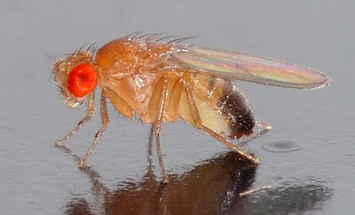 Fruit flies may help scientists understand the underlying mechanism by which HPV can cause cancer as well as identify potential drug treatments. [André Karwath/Wikimedia Commons]