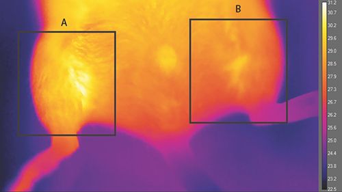 This thermograph of an anesthetized animal at room temperature shows the effect of a brown-like fat implant on body heat. The implant area (A) was found to be significantly warmer (30.86°C maximum) than the control area (B) (29.43°C maximum). [Kevin Tharp and Andreas Stahl]