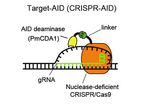 Deaminase is attached by a linker to nuclease-deficient CRISPR/Cas9. Guide RNA recognizes the DNA sequence of target genome and the deaminase modifies the base of the unwound DNA. [Kobe University]