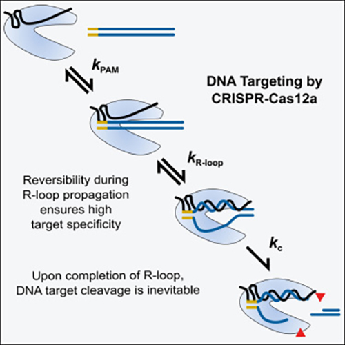 A quantitative kinetics study has dissected the reaction steps whereby Cas12a targets DNA. This study explains the DNA cleavage patterns measured <i>in vivo</i> and the observations of greater reported target specificity for Cas12a than for the Cas9 nuclease. [<i>Molecular Cell</i>]