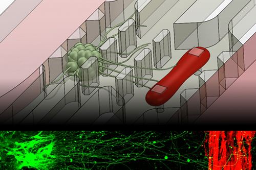 A new microfluidic device that replicates the neuromuscular junction—the vital connection where nerve meets muscle—contains a small cluster of neurons (green) and a single muscle fiber (red). A fluorescence image, bottom, shows the motor neurons sending out axons toward a muscle strip over a distance of about 1 millimeter. [Sebastien Uzel/MIT]