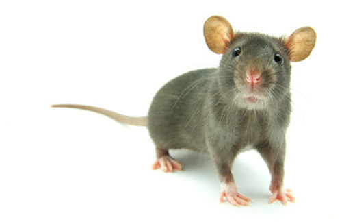 New technique allows generation of mice in which any miRNA can be deleted or replaced with a different allele.[© Pakhnyushchyy - Fotolia.com]