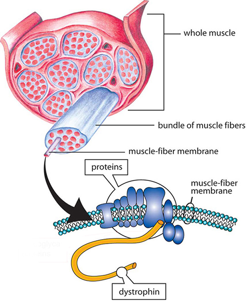 Duchenne muscular dystrophy is caused by the inability to produce dystrophin, a long protein chain that binds the interior of a muscle fiber to its surrounding support structure. A new study may lead to clinical advances and help to eventually reverse these debilitating mutations. [Muscular Dystrophy Association]