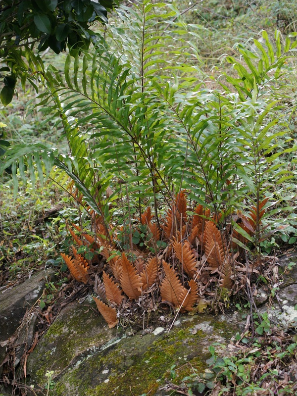 Drynaria, commonly known as basket ferns, have been traditional used as a medicinal plant. [Wikicommons]