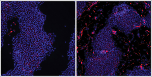 The new Cas9 technique shows a 40-fold increase (right panel) in developing neuronal cells (red) when compared to previous attempts (left) using standard methods.[Wyss Institute at Harvard University]
