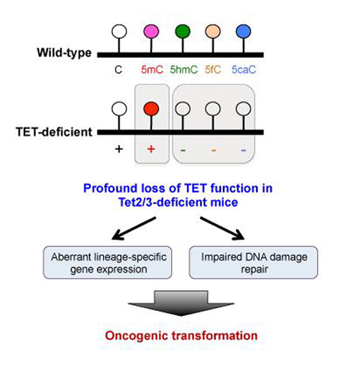 Loss of TET function contributes to skewing blood stem cells in favor of forming myeloid cells over other blood cell types by regulating the expression of lineage-specific genes. [Dr. Myunggon Ko, Ulsan National Institute of Science and Technology]
